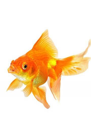 Гадание-на-желание-на-золотую-рыбку